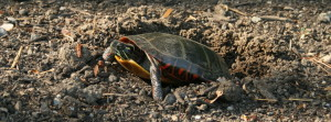 Painted turtle_cropped