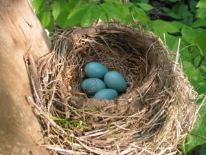 robin nest 4-001