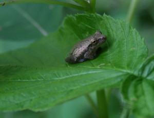 spring peeper_7_cropped